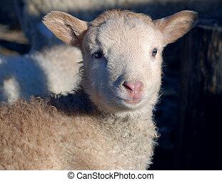 lamb kid