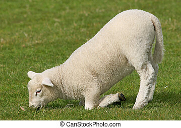 Lamb Kneeling - White lamb kneeling and eating grass in...