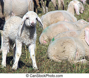 Lamb of the flock of sheep graze in the Meadow