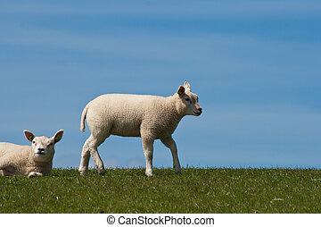 Lamb on a dyke