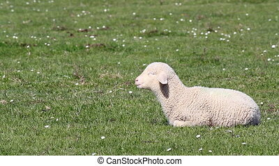 lamb on green pasture