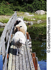 Lamb on the old bridge
