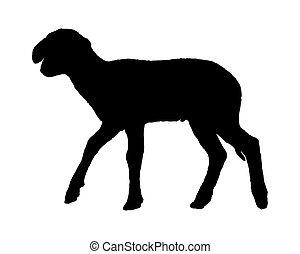 Lamb on white