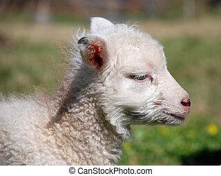 lamb profile