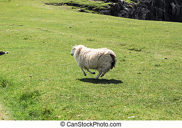 Lamb running quickly over a green field