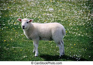 lamb - white lamb in a field