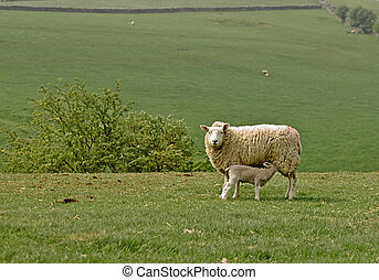 lamb suckling from mother sheep