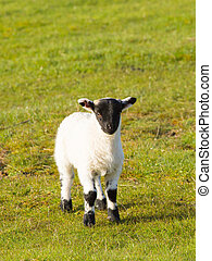 Lamb with black face legs knees and feet