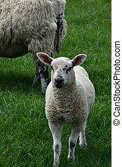 Lamb With Black Speckles On His Face in England