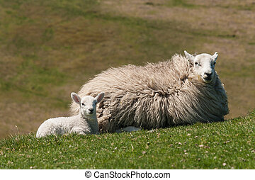 lamb with ewe resting on grass