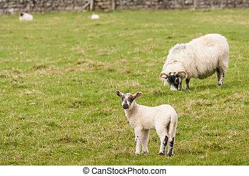 lamb with grazing ewe