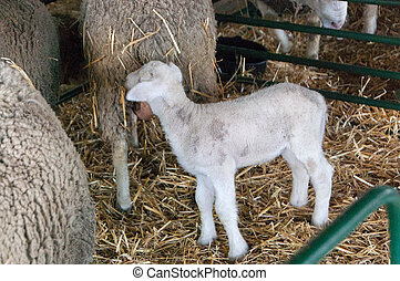 lamb with mother, sheep