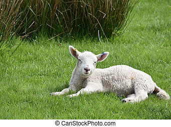 Lamb with Sleepy Eyes Resting in a Grass Field