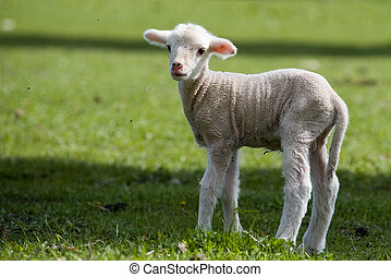 Lamb - young sheep - is standing on the meadow