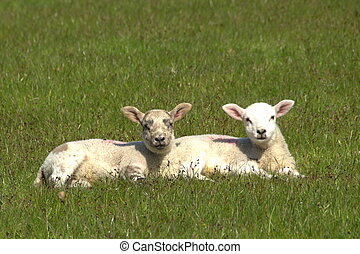 Lambs - A pair of lambs lying in the grass