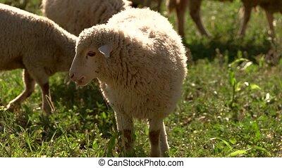 Lambs eat grass. Sheep on grassland. Herd grazes at the...