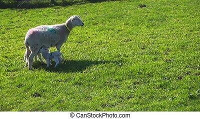 Lambs Feeding - Lambs feeding from their mother
