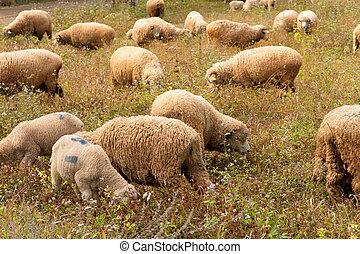 Lambs grazing in a green field