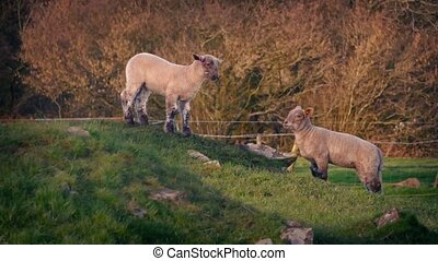 Lambs Grazing In Beautiful Sunset Light - Pretty evening...