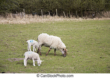 Lambs in a field in the Chilterns