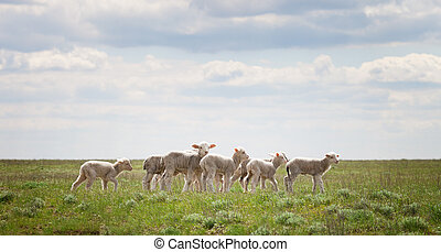 Lambs in the pasture