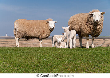 lambs / north sea coast of st. peter-ording / germany