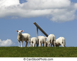 Lambs on a dyke on the Island of Sylt - The Sheep (Ovis...