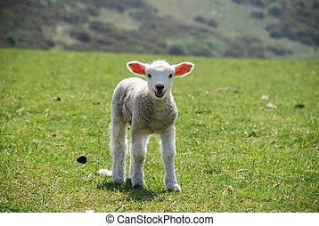 lambs - Springtime in England