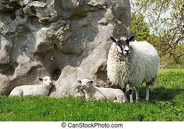 Lambs with ewe