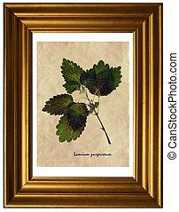 Lamium purpureum in herbarium - Herbarium from pressed and ...