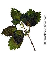 Lamium purpureum in herbarium - Pressed and dried leaf of ...