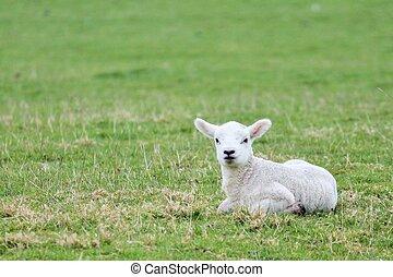 lamm, fält, avskrift, grön, Utrymme