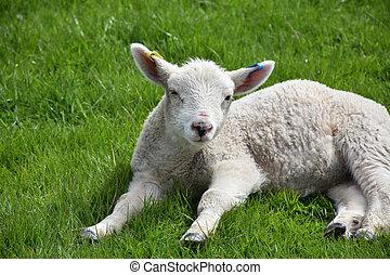 lamm, fält, sömnig, titta nära, uppe