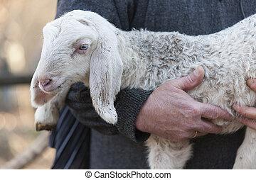 lamm, fåraherde