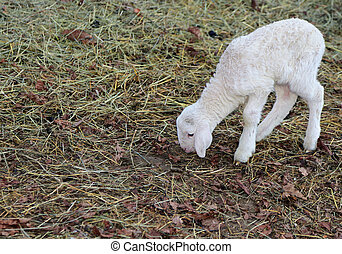 lamm, med, mjuk, ylle, vit, pälsfodra