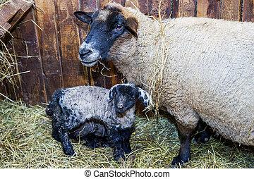 lamm, söt, litet, sheep, mor