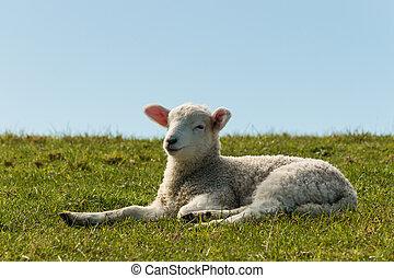 lamm, vila, gräs