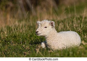 lamm, vila, litet, gräs