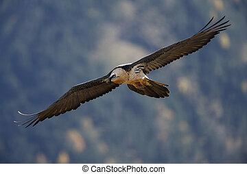 Lammergeier or lammergeyer or bearded vulture, Gypaetus ...
