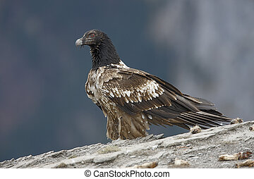 Lammergeier or lammergeyer or bearded vulture, Gypaetus ...