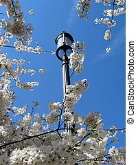 lamppost with cherry blossoms