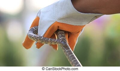 Lampropeltis getula meansi, commonly known as Apalachicola ...