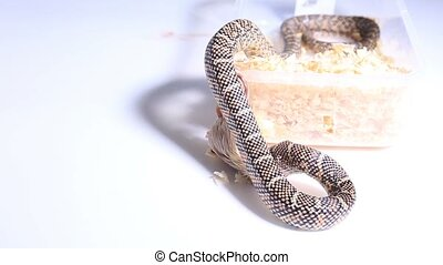 Lampropeltis getula meansi, commonly known as Apalachicola Kingsnake
