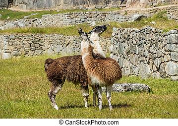 lamy, machu picchu, gruzy, peruwiański, andy, cuzco, peru