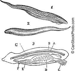 Lancelet ( amphioxus lanceolatus ) top, bottom and inside view vintage engraving.