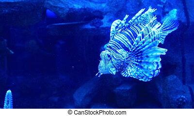 Lancetfish (Alepisaurus) in aquarium - Close up view at...
