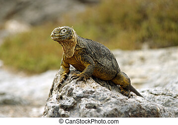 Land Iguana - A close-up of land iguana from Galapagos...
