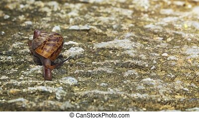 Land Snail Crawling over a Rocky Surface in Thailand. FullHD...