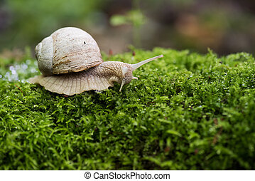 Land snail, Helix pomatia on bright green forest moss copyspace