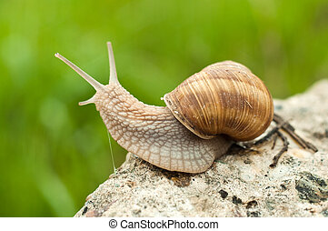 Land snail in natural environment, close up image.